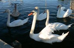 Swann Keys Swans